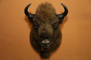 fynsnatur_bison