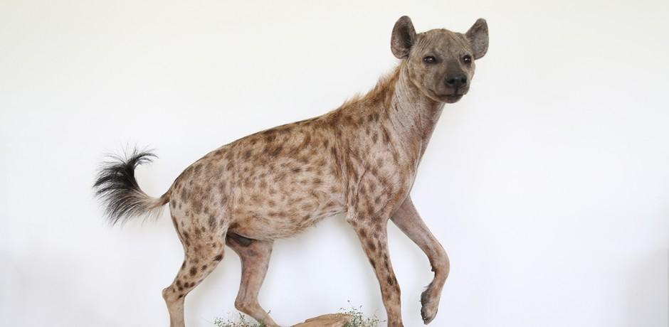 Hyæne | Fyns Naturværksted Leopard